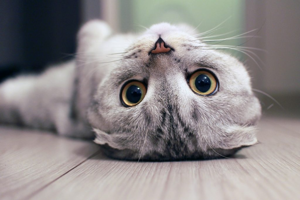 Cat lying on its back