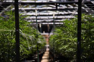 Hemp growing in a greenhouse