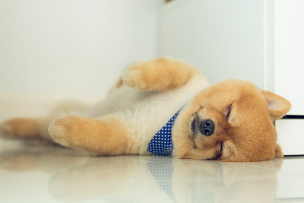 little pomeranian sleeping on the floor